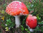 """Amanita muscaria - Roter Fliegenpilz,giftig.Der wohl bekannteste Blätterpilz bringt """"Farbe"""" in die herbstlichen Wälder."""