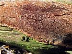 Phellinus ferruginosus - Rostbrauner Feuerschwamm.Auf verschiedenen Laubhölzern,abgefallenen Ästen und Stämmen,relativ häufig.Es gibt mehrere ähnliche Arten.