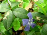 Phoma exigua var.inoxydabilis auf Vinca minor (Kleines Immergrün)