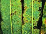 Pucciniastrum epilobii - Der gleiche Rostpilz auf Epilobium angustifolium (Wald-Weidenröschen)
