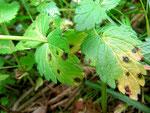 Ovularia chamaedryosan auf Veronica chamaedrys (Gamander-Ehrenpreis)