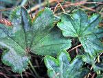 Sphaerotheca alchemillae (Bild 1/2) - Mehltau auf Alchemilla