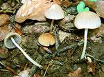 Psathyrella marcescibilis - Grauweißer Faserling.Gefunden auf bzw.zwischen Resten von Buchenzweigen,selten.