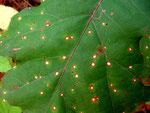 Septoria quercicola auf Quercus (Blätter)