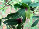 Ramularia schulzeri auf Blättern von Melilotus alba (Weißer Steinklee)