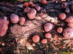 Hypoxylon fuscum - Rotbraune Kohlenbeere.Häufig auf diversen Laubhölzern wie Eiche und Haselnuss,ganzjährig.
