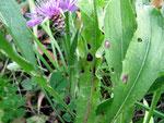 Asochyta doronici auf Centaurea jacea (Wiesen-Flockenblume)
