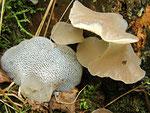 Pseudohydnum gelatinosum - Zitterzahn,Eispilz.Versteckt lebend im Wurzelbereich von Fichtenstubben,nicht selten.