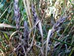 Cercosporidium graminum auf Triticum aestivum (Weizen).Das schwarze Aussehen verursachen die dunklen Konidienträger des Pilzes.