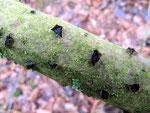 Eutypella alnifraga - Gefurchter Erlenkugelpilz.Auf Zweigen und Stämmen von Schwarzerlen im Frühjahr,nicht häufig.