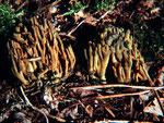 Ramaria abietina - Grünfleckende Koralle.Unter Fichten zerstreut vorkommend.Auf Druck färben sich Teile grünlich.Ein gutes Erkennungsmerkmal!