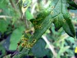 Puccinia cnici - Rostpilz auf Cirsium vulgare (Gewöhnliche Kratzdistel)