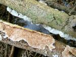 Meruliopsis corium - Lederartiger Fältling.An toten Laubholzzweigen,gefunden auf Eiche in einem Reisighaufen,nicht selten.