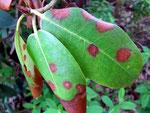 Seimatosporium arbuti auf Rhododendron (Bild 1/2)