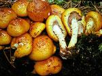 Pholiota adiposa - Schleimiger Schüppling.An Laubhölzern,besonders an deren Stubben,selten.Im Gegensatz zu Ph. cerifa sind Hut u n d Stiel deutlich schleimig.Geruch sehr angenehm (Zitrone).