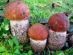 Leccinum quercinum - Eichen-Rotkappe.Am Standort unter Eichen und dem grob rotgeschuppten Stiel erkennbar.Nicht häufig,essbar.