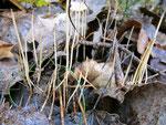 Macrotyphula filiformis - Binsenkeule.Nach Regen oft in großen Scharen auf faulenden Blättern.