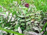 Sphaerotheca ferruginea - Mehltau auf Sanguisorba officinalis (Großer Wiesenknopf)