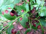 .Mycosphaerella stemmatea - Ascomycet auf Blättern der Blau-und Preiselbeeren,sehr häufig.