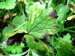 Ramularia acris auf Ranunculus repens (Kriechender Hahnenfuß)