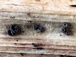 Pyrenopeziza lanceolata auf Urtica (Bild 2/2)