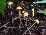 Mycena acicula -Orangeroter Helmling.Selten und meist gut versteckt zwischen Kräutern in Feuchtgräben.