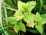 Septoria lamiicola auf Lamium album (Weiße Taubnessel)