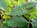 Phoma macrostoma var.macrostoma auf Blättern von Fraxinus excelsior (Eberesche)