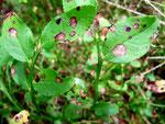 Mycosphaerella stemmatea ist ein häufiger und gut kenntlicher Ascomycetenbefall auf Blättern von Vaccinium myrtillum (Blaubeere).