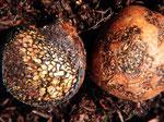 Pisolithus arhizus (Bild 1/2) - Erbsenstreuling.Beliebter Trüffelersatz.Wächst oberirdisch wie Kartoffelboviste,die aber im Schnitt anders aussehen.