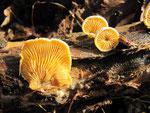 Phyllotopsis nidulans - Orange-Seitling.Schöner und in meiner Gegend seltener Pilz.Gefunden an morschem Holz von Fichte und Eiche.Die abgebildete Fund war auf Eiche und im Februar gewachsen.