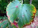 Cercospora microsora auf Blättern von Tilia (Linde)