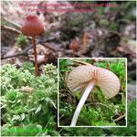 Mycena sanguinolenta - Purpurschneidiger Helmling,Kleiner Bluthelmling.Nicht selten in Feuchtgebieten auf morschem Nadelholz.
