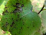 Polaccia radiosa verursacht die Blattwelke und das Absterben von Triebspitzen bei Populus tremula (Zitterpappel,Espe).