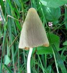 Conocybe albipes (=Conocybe lactea), (Bild 2/2)