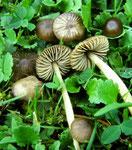 Entoloma sericeum - Schwarzhütiger oder Seidiger Rötling,häufig,nicht essbar.Der wohl häufigste rasenbewohnende Rötling.