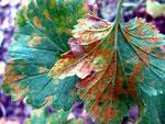 Cronartium ribicola II - Sogenannter Säulenrost.Ab Frühsommer auf Blättern von Ribes-Gewächsen,dies kann zu Ernteausfall führen.Sporen infizieren nahe gelegene Weymouthskiefern erneut,Kreis ist geschlossen.
