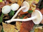 Hygrophorus eburnius (=cossus) - Elfenbein-Schneckling.Im Kalkbuchenwald ab September sehr häufig,sonst fehlend,nicht essbar.