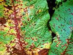 Ramularia pratensis auf Rumex crispus.Häufiges und auffallendes Schadbild.