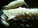 Phanerochaete tuberculata - Milchweißer Zystidenrindenpilz.relativ häufig im Sommer auf Laubgehölzen und Büschen.