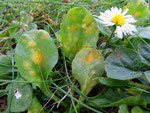 Puccinia obscura - Rostpilz auf Bellis perennis (Gänseblümchen),Wirtspartner ist Hainsimse.