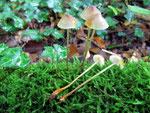 Mycena crocata - Gelborangemilchender Helmling.Im Buchenwald und nur auf Kalkböden zwischen Laub und Holzresten,nicht sehr häufig.