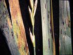 Phyllachora graminis - Ascomycet auf Gräsern,hier auf Quecke,häufig.