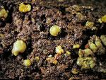 Claussenomyces prasinulus - Graugrünes Gallertbecherchen.Gefunden in einem stark morschem Stück Rotbuche.