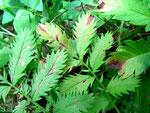 Phyllosticta potentillica auf Potentilla anserina (Gänse-Fingerkraut)