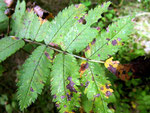 Cercospora ariae auf Jungpflanzen von Sorbus aucuparia (Eberesche,Vogelbeere)