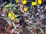 Erysiphe cichoracearum - Mehltau auf Korbblütlern,im Foto auf Hieracium spec. (Habichtskräuter).