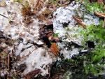 Athelia epiphylla - Blätterüberwachsene Gewebehaut.Auf morschem Holz,gefunden auf Kiefer,auch auf Zapfen,Moos,Blätter usw.Im Spätherbst,relativ häufig.