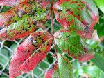 Cummuninsiella mirabilissima - Rostpilz auf Blättern von Mahonien.Wohl in keinem Strauch fehlend.