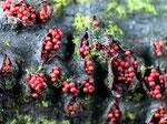 Neonectria punicea - Faulbeerbaum-Pustelpilz.Auf Faulbaumstämmchen im Spätherbst und Winter.In meiner Gegend relativ häufig.